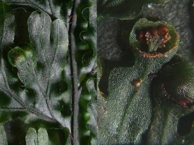 オオコケシノブのソーラスと胞子嚢床