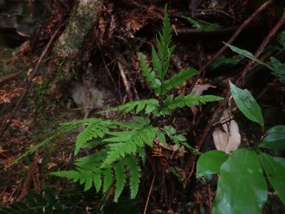 シチトウハナワラビ(ナンキハナワラビ)