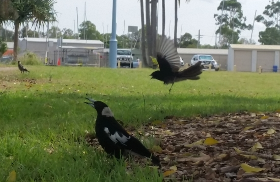 willy_wag_tail_vs_magpie_01.jpg