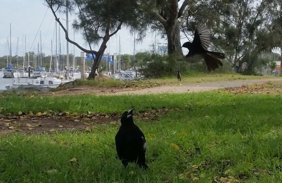 willy_wag_tail_vs_magpie_02.jpg