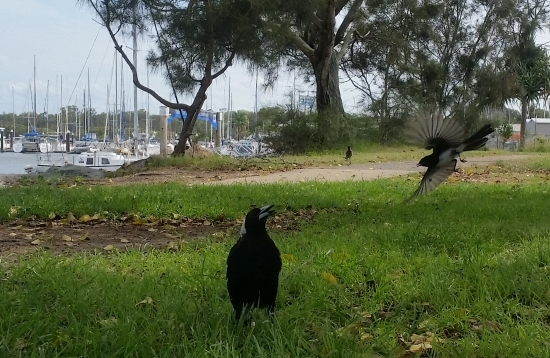 willy_wag_tail_vs_magpie_03.jpg