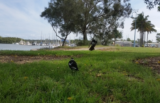 willy_wag_tail_vs_magpie_04.jpg