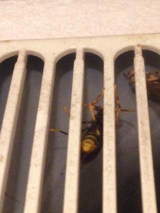 換気扇で越冬中のスズメバチ