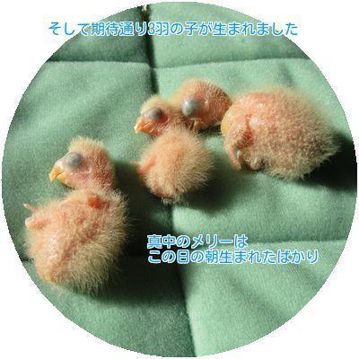 ②3羽誕生
