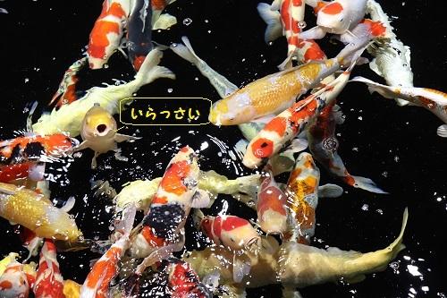 鯉いっぱい