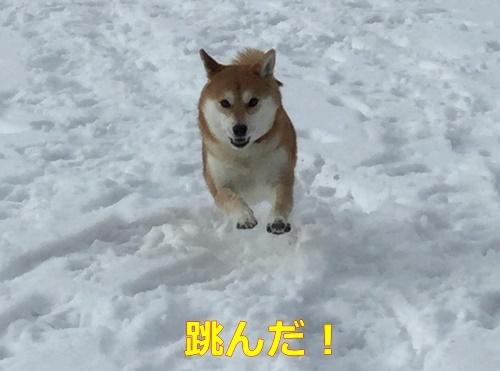 5飛び出す柴犬