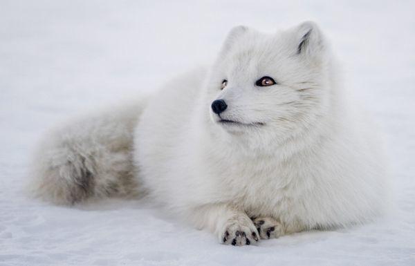 white-fox.jpg