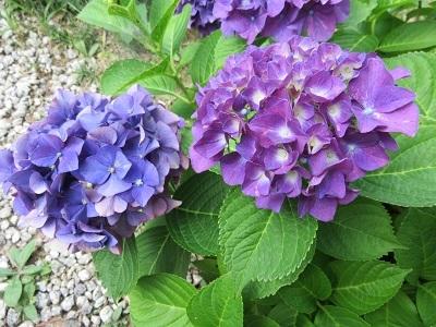 IMG_0459 紫陽花