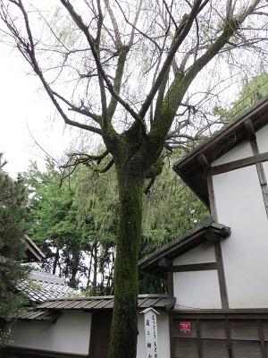 IMG_0044 埋木舎の柳