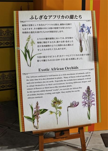 特別展示 ふしぎなアフリカの蘭たち