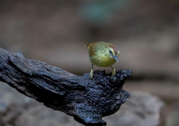 ムナフムシクイチメドリ1