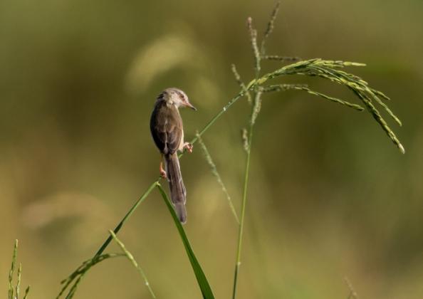 アジアマミハウチワドリ7