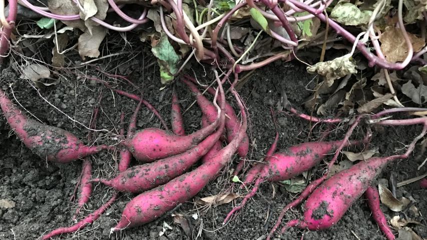 サツマイモの二期作、秋作のイモ