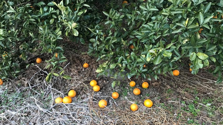 我輩が栽培しているネーブルオレンジ