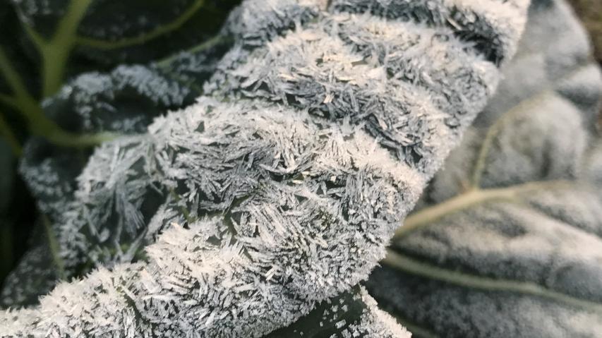 キャベツの上に霜