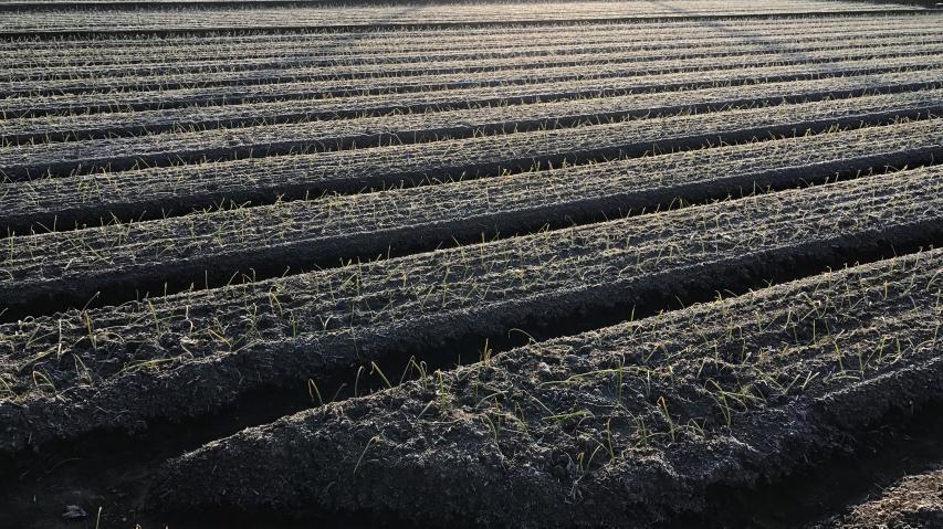 タマネギ畑にも霜