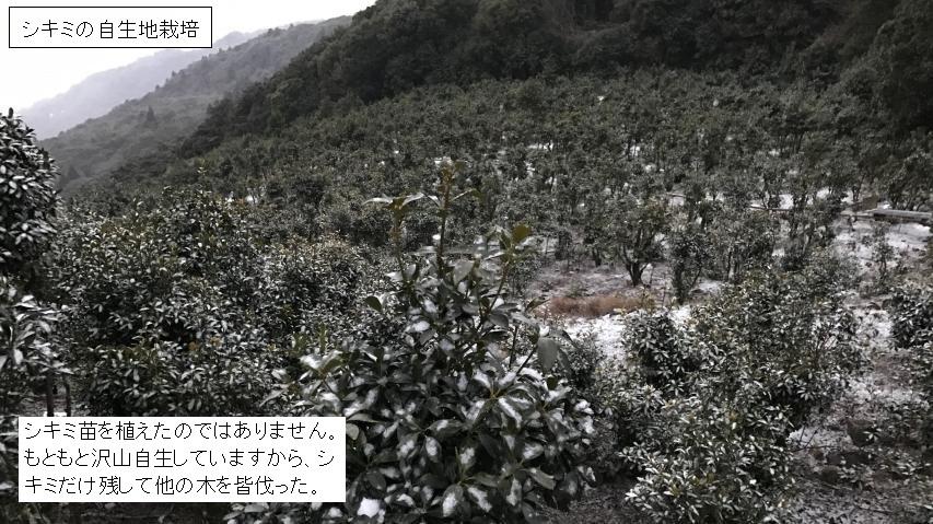 シキミ畑(シキミの自生地栽培)