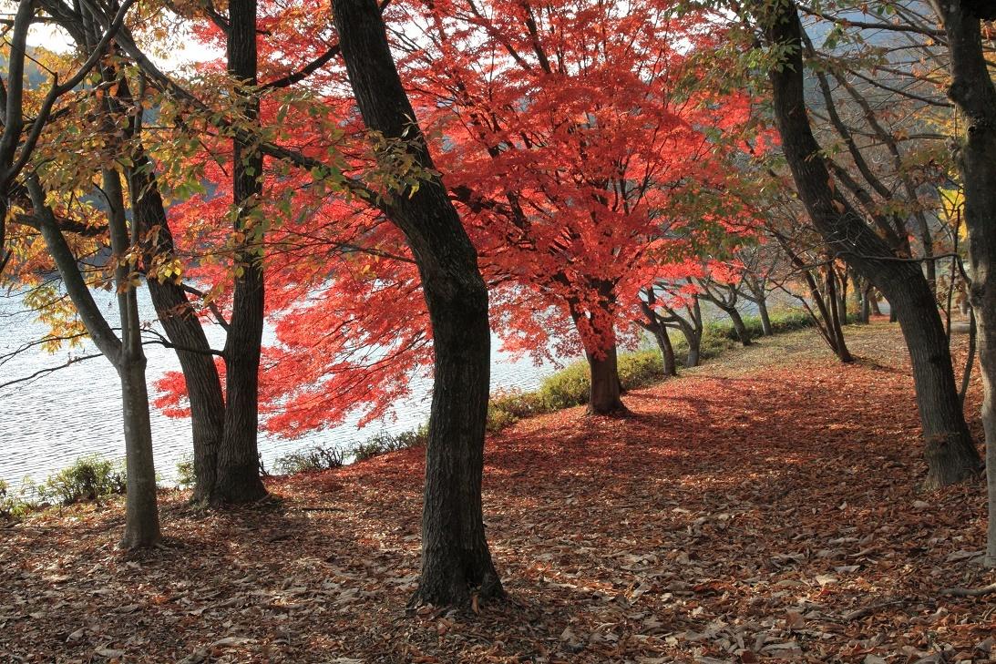 森林公園の真赤な紅葉①