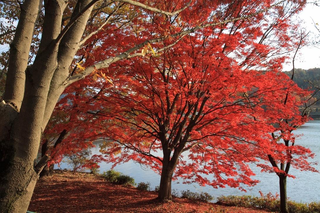 森林公園の真赤な紅葉②