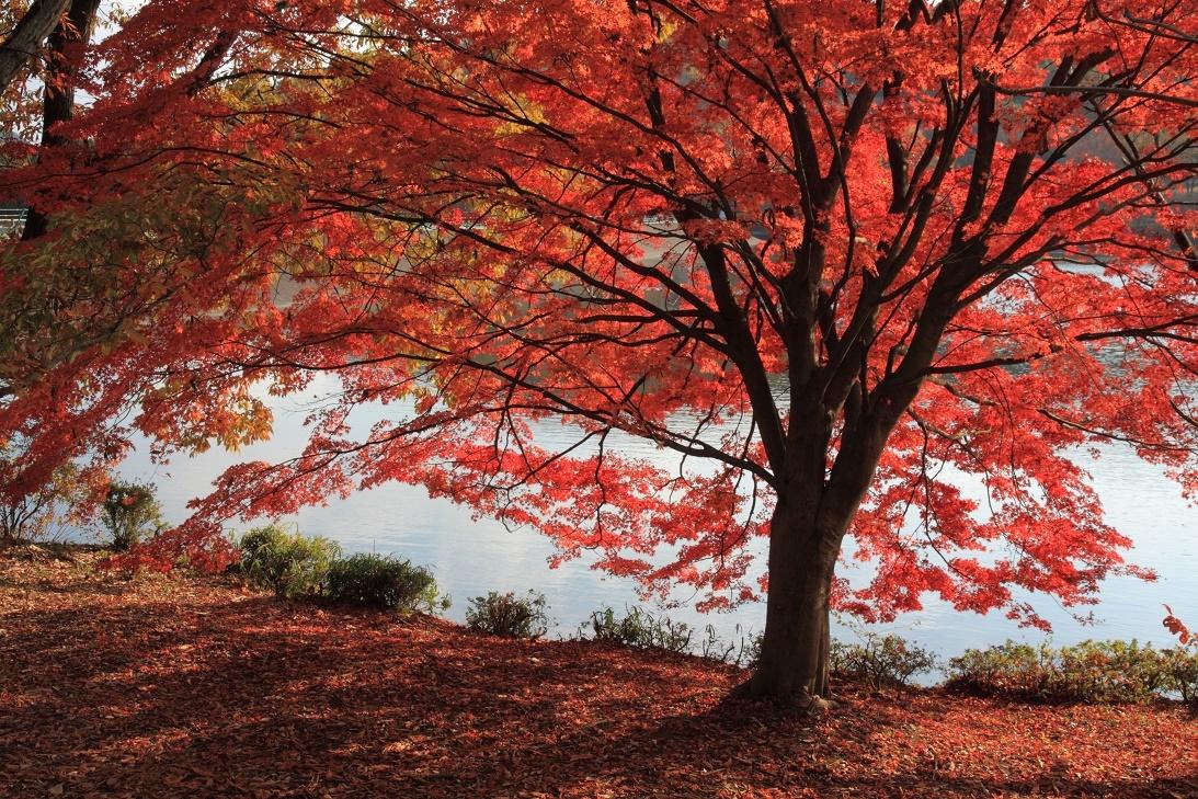 森林公園の真赤な紅葉③