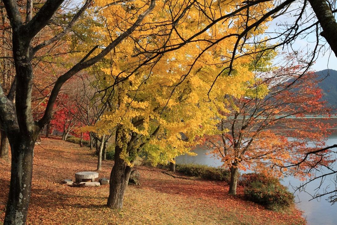 湖畔のイチョウ・11月①