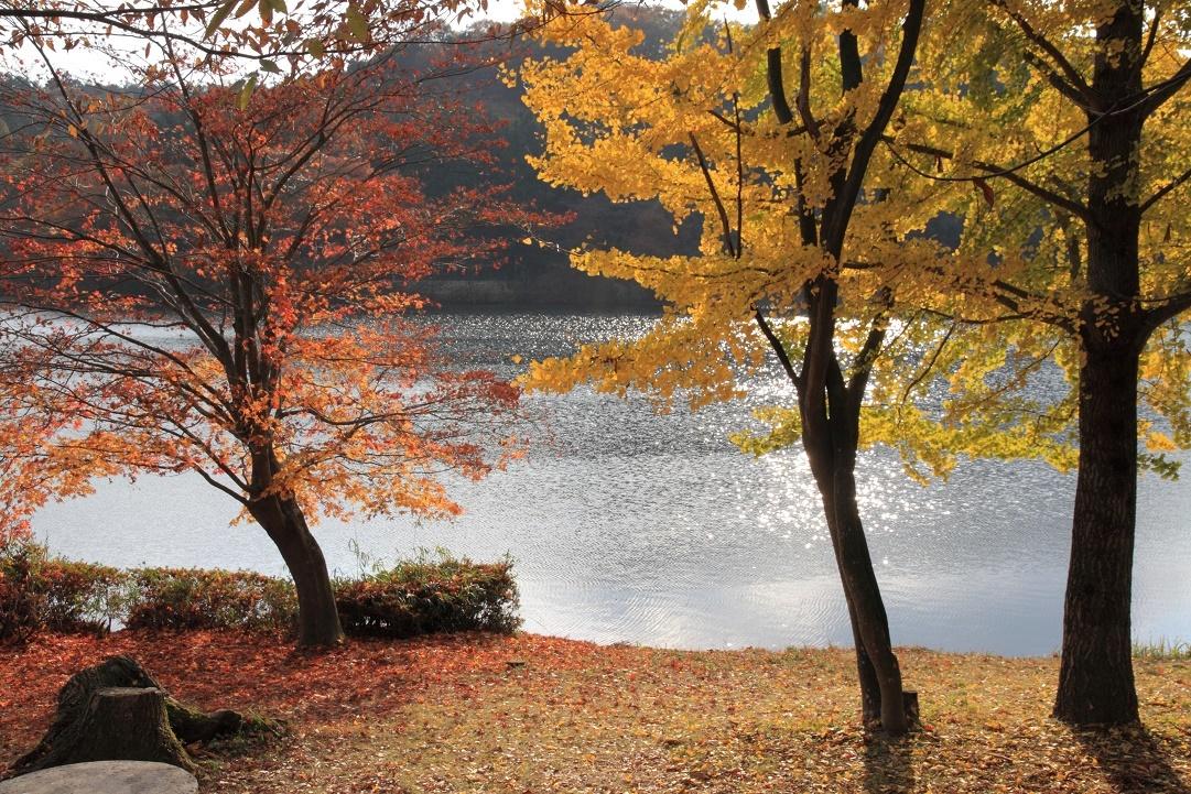 湖畔のイチョウ・11月②