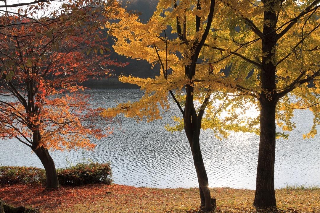 湖畔のイチョウ・11月③