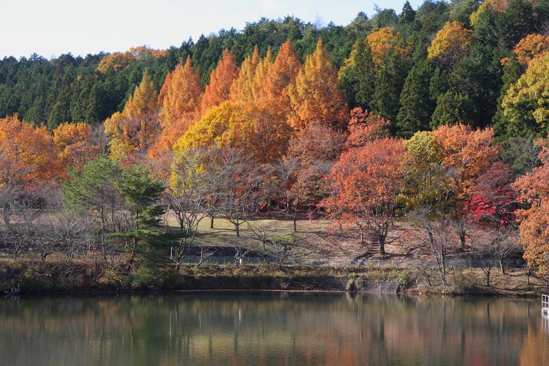 森林公園のメタセコイア17②