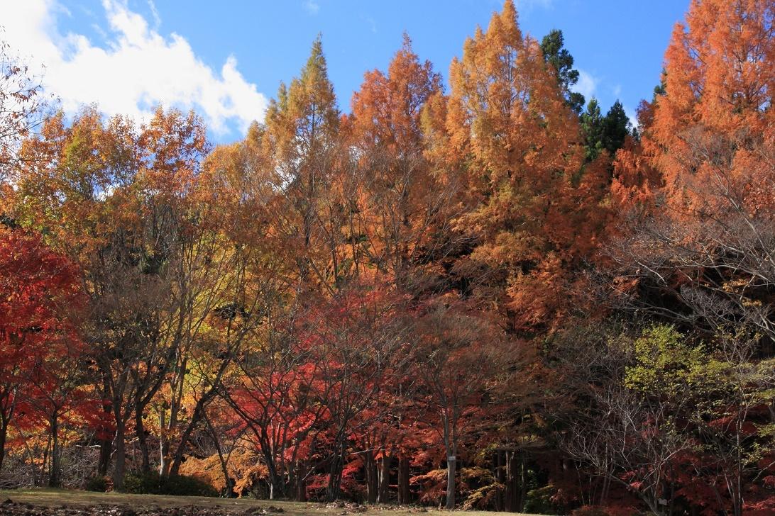 森林公園のメタセコイア17③