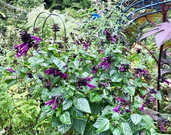 10,3サルビア 紫ー1