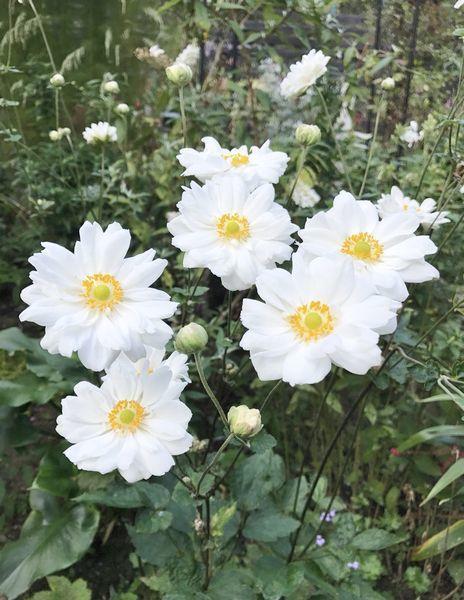 10,12八重白花シュウメイギク