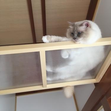 幸運を運ぶ猫⭐️バーマン − ミカエル −