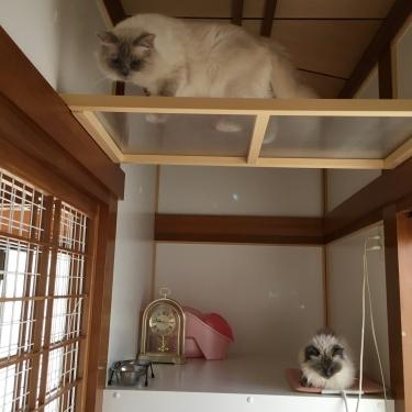 幸運を運ぶ猫⭐️バーマン − ミカエル部屋 −
