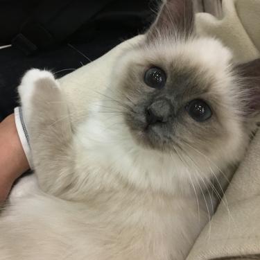 幸運を運ぶバーマン子猫お引越しー 2017年 秋生れ
