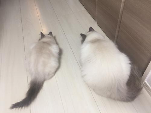 幸運を運ぶバーマン子猫 ー チャズ & ピーシュちゃん ー