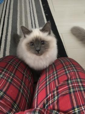 幸運を運ぶバーマン子猫 ー ピーシュちゃん ー
