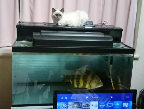 幸運を運ぶバーマン子猫 ー ナユタちゃん ー