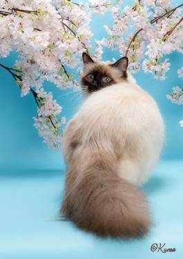幸運を運ぶ猫♡バーマン - オーリン -