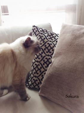 幸運を運ぶ猫☆バーマン - かわいいサクラちゃん -