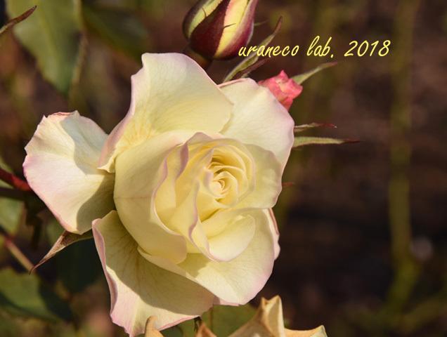 1月17日冬薔薇