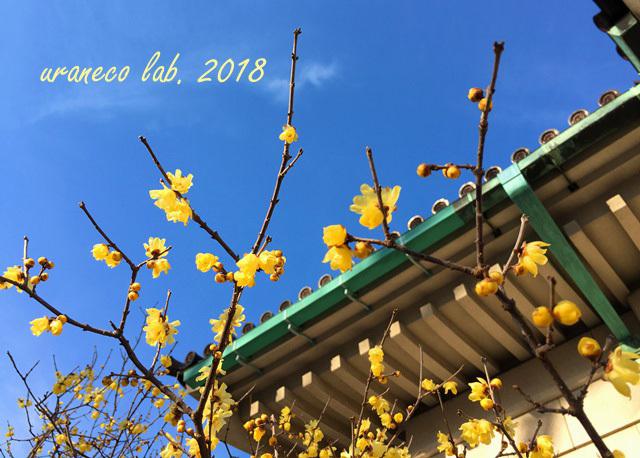 1月15日青空と蠟梅