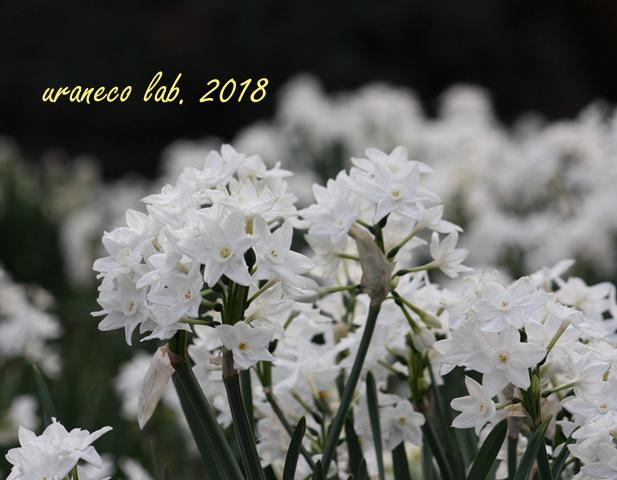 1月17日ペーパーホワイト
