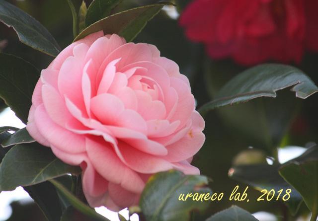 1月24日乙女椿2
