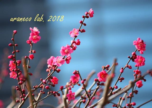 1月24日紅梅3