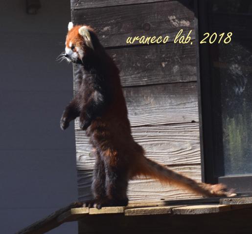 1月29日レッサーパンダ2