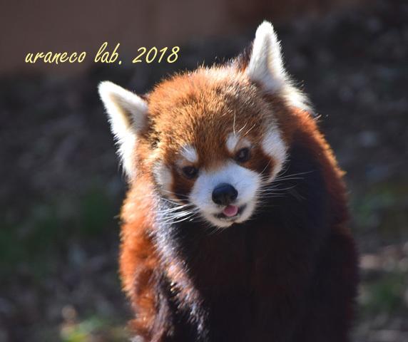 1月29日レッサーパンダ