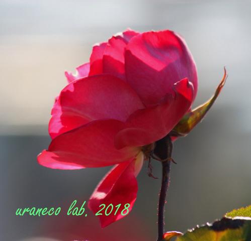 1月30日冬薔薇2