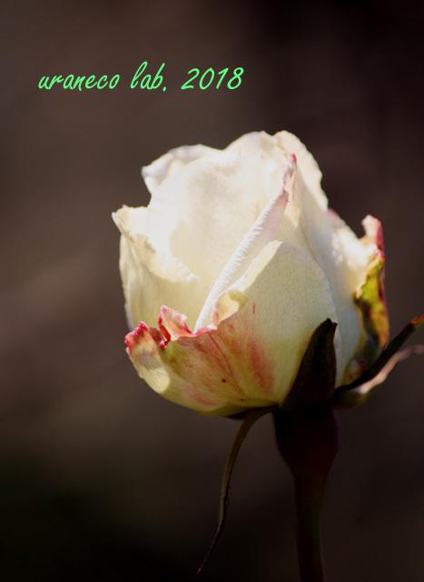 1月30日冬薔薇