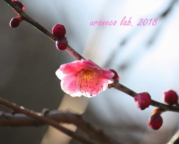 2月5日紅梅