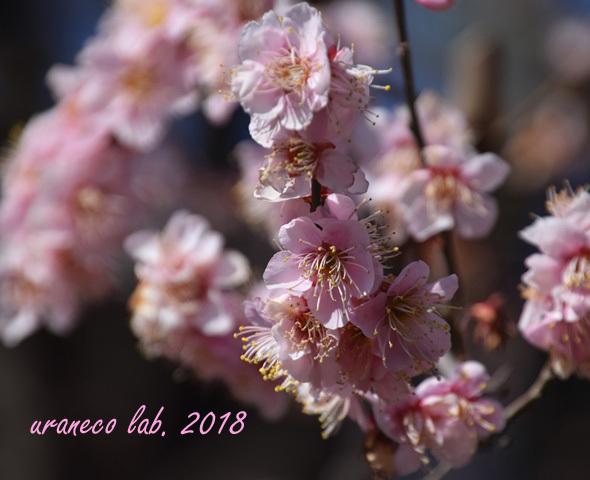2月5日桃色梅